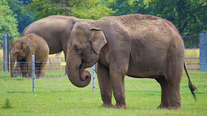 Elephant in enclosure eating grass